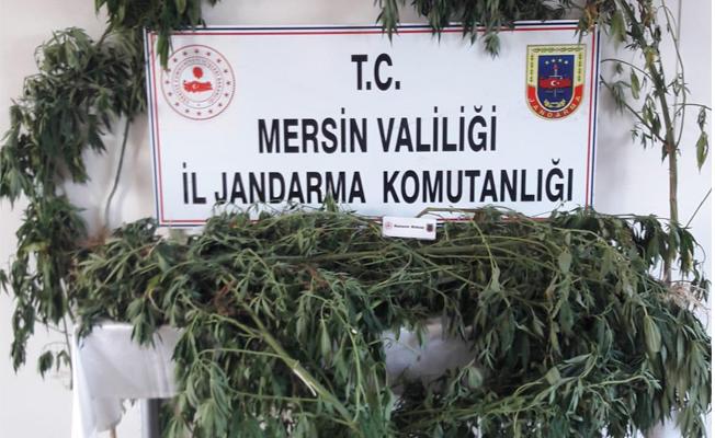 Tarsus'ta 52 Kök Kenevir Ele Geçirildi